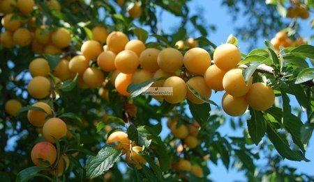 Śliwa Mirabelka z Nancy (Prunus domestica)