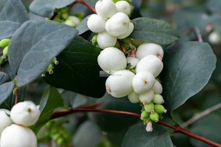 Śnieguliczka Doorenbosa White Hedge (Symphoricarpos ×doorenbosii White Hedge)