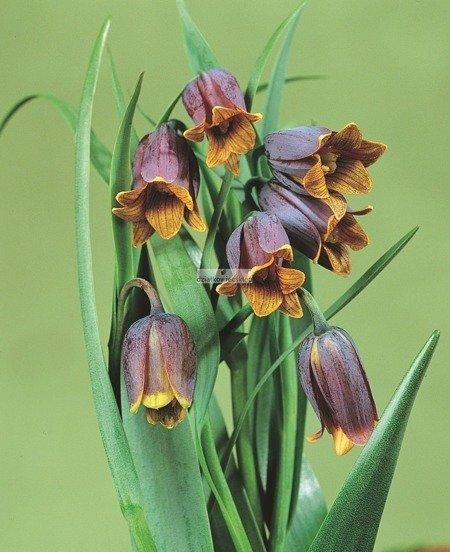 Szachownica Uva Vulpis (10 szt.) (Fritillaria)