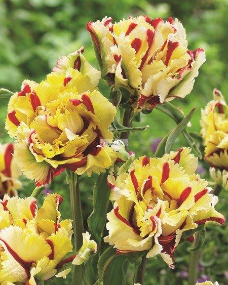 Tulipan Papuzi Double Flaming Parrot (2 szt.) (Tulip)