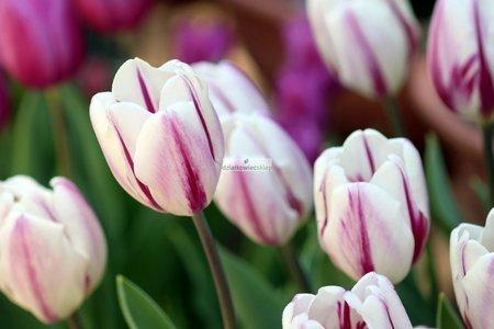 Tulipan pojedynczy–późny Sparkling Flag (5 szt.) (Tulip)