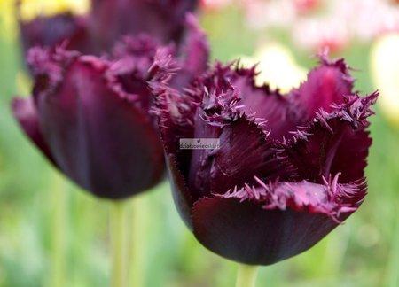 Tulipan strzępiasty Labrador (3 szt.) (Tulip)