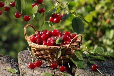 Wiśnia Debreceni Botermo (Prunus cerasus)
