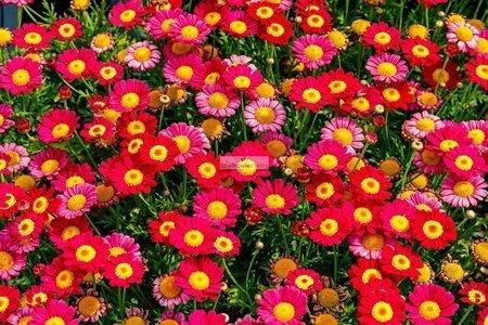 Złocień krzewiasty czerwony (Argyranthemum)