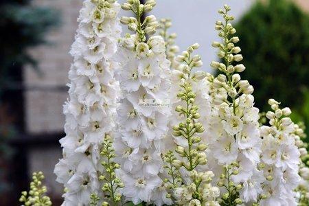 Ostróżka biała (1 szt.) (delphinium)